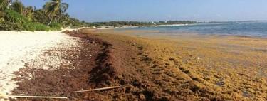 El sargazo no solo afecta al Caribe mexicano, asfixia también playas de Oaxaca