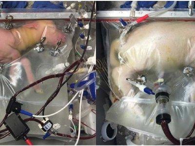 Logran llevar a término a una oveja prematura en un útero artificial, otra vez