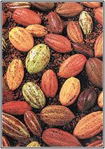 El cacao venezolano, de los mejores del mundo