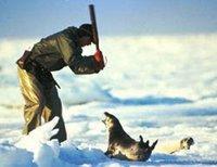 Singularidades extraordinarias de animales ordinarios (XXII): la foca