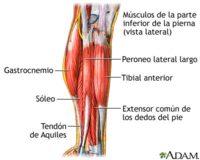 El tibial anterior: un músculo que debemos recordar al trabajar la pierna