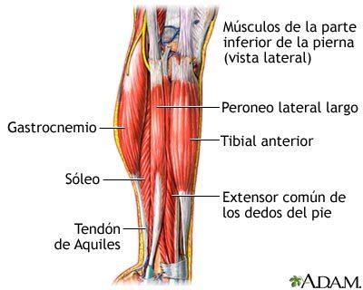 musculo tibial anterior origen e insercion y funcion