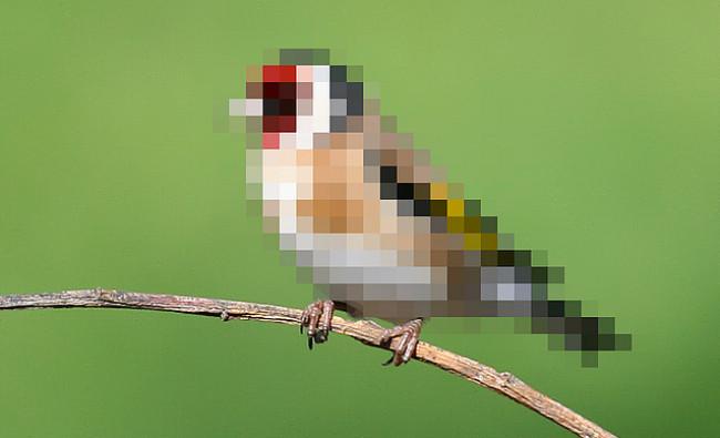 pajaro pixels