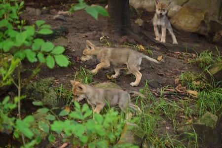 Seis lobos mexicanos más a la cuenta: los nuevos cachorros nacieron en Chapultepec en Ciudad de México