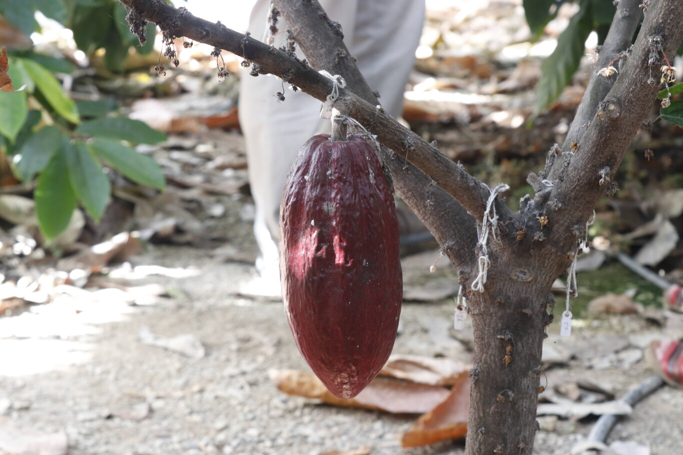 Vaina de cacao de uno de los árboles cultivados en el IHSM La Mayora
