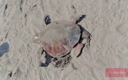 En Chiapas, México encontraron más de cien tortugas muertas y los investigadores no saben qué sucede