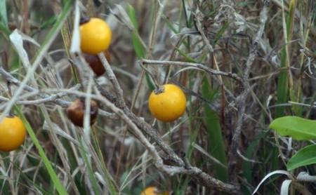 Wild Eggplant Lqvab