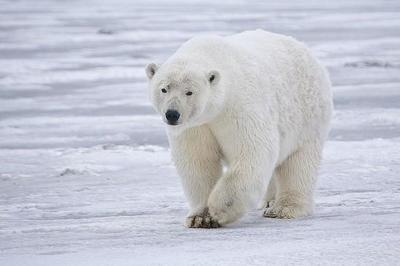 Exploradores, hígados y osos polares