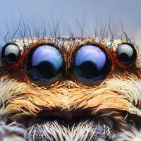 Esta araña está por encima de todo: vive a 6700 metros de altitud