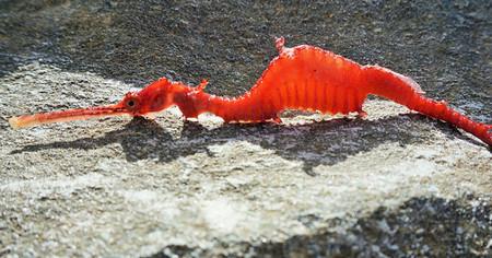 Éste es el primer vídeo que tenemos del dragón rojo marino