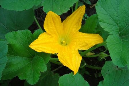 Calabacin Flores
