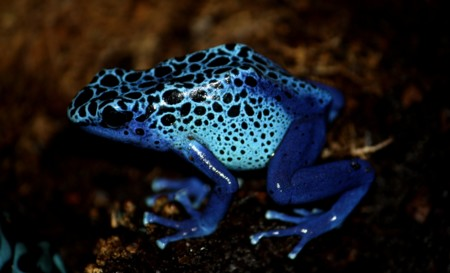 Poison Dart Frog By Trisha 5