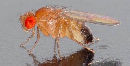 La mosca de la fruta inspira soluciones a problemas de redes Wi-Fi
