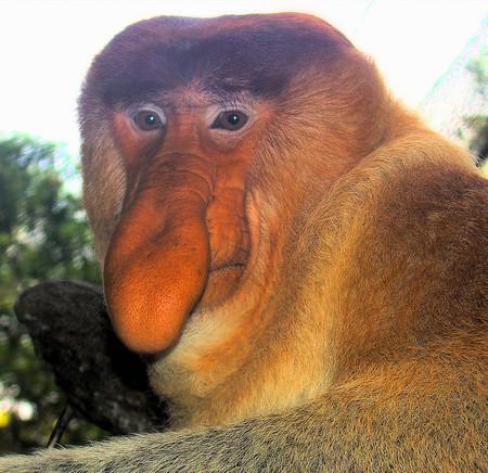 Este mono es como Pinocho: su nariz puede alcanzar casi 18 centímetros