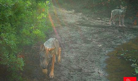 Una pequeña camada de lobos ha vuelto a nacer en Roma 2.700 años después de Rómulo y Remo