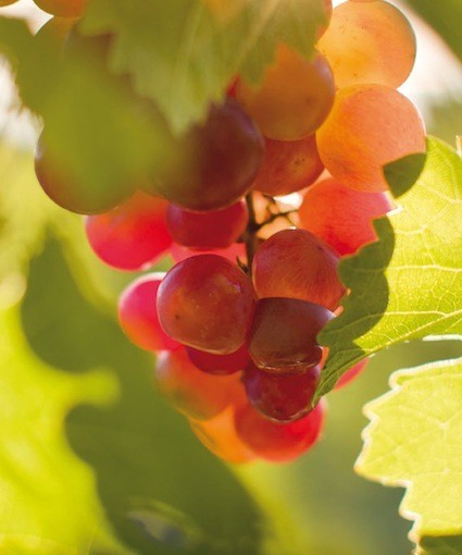 Grape Caudalie