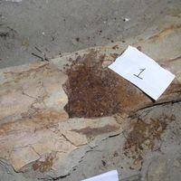 Se han recuperado proteínas de un dinosaurio de 80 millones de años