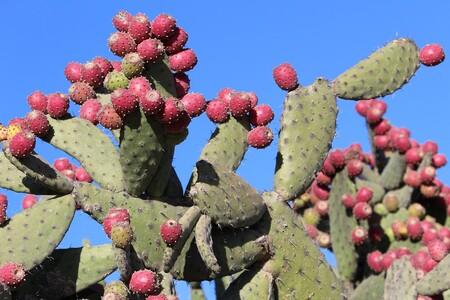 Nopal: alimento esencial y endémico que forma parte de la identidad de México con múltiples beneficios para la salud