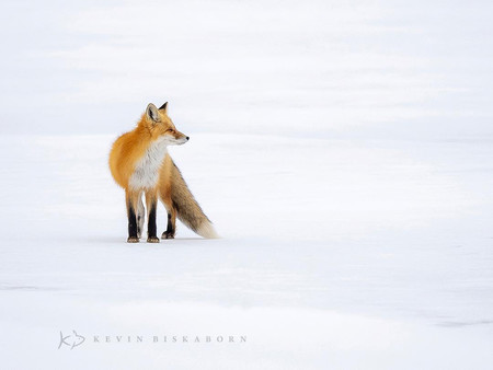 Kevin Biskaborn Red Fox Winter