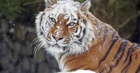 En un siglo hemos acabado con el 97% de los tigres. Y hoy por fin nos llegan buenas noticias