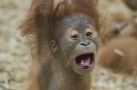 Baby Orangutan 1056338 960 720