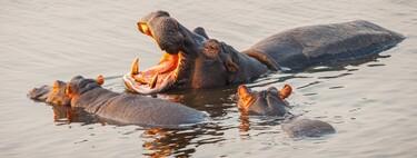 Pablo Escobar compró cuatro hipopótamos para su finca. Hoy son más de 80 y una pesadilla para Colombia