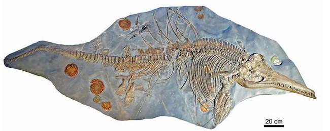 Fosil Completo Ictiosaurio 1057104342 9087399 660x263