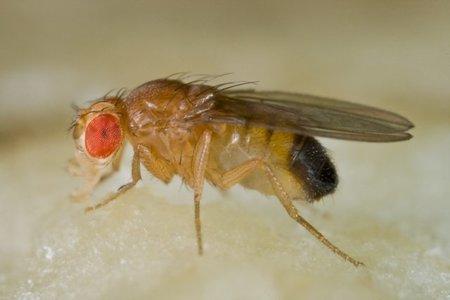 Los nombres más raros para cromosomas de la mosca: groucho, pitufo, pokemon...