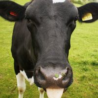 Así será la vaca transgénica del futuro: adaptada al cambio climático