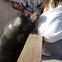 Que parezca simpático no quiere decir que lo sea: un león marino caza a una niña y la tira al agua
