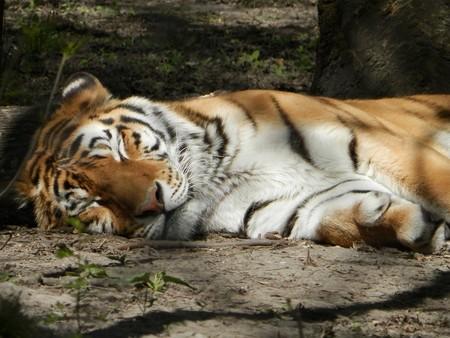 Siberian Tiger 731992 960 720