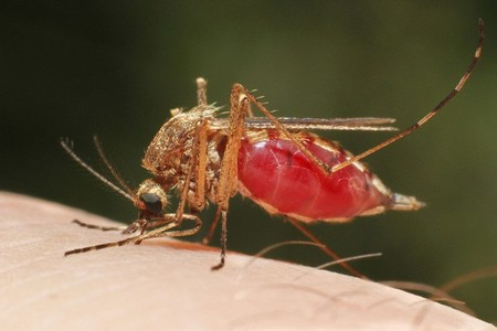 """Este microbio """"detiene completamente"""" la malaria y plantea una forma de evitar las 400.000 muertes al año por esta enfermedad"""