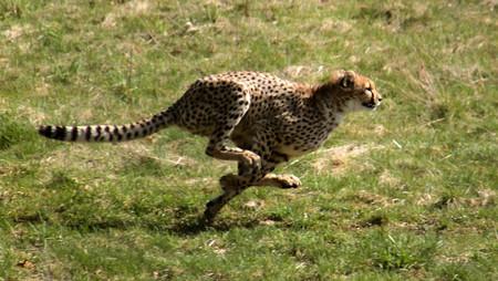 Gepardjagt1 Acinonyx Jubatus