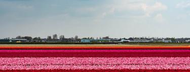 Bloemenroute, la ruta floral más impresionante de Holanda