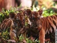 'Dos Hermanos', Jean Jacques Annaud cambia un oso por dos tigres
