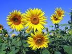 Las plantas como combustible ecológico del futuro