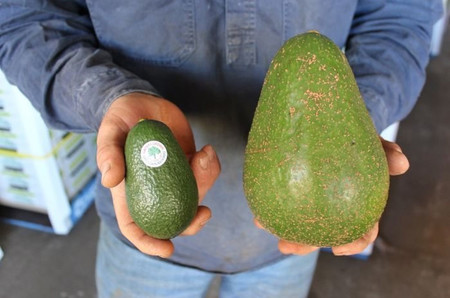 Aguacate Gigante2