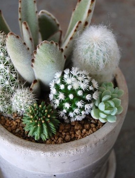 Cactus Maceta