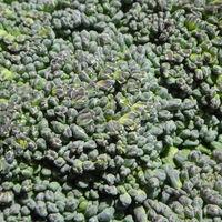 Una pastilla de extracto de brócoli: ¿ayuda para los diabéticos?