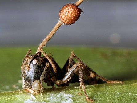 Hormigas zombies