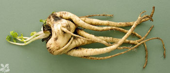 El vegetal más feo del año