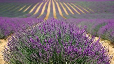 Lavender 894919 1920