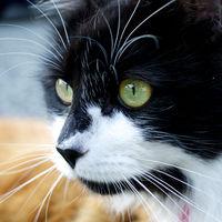 ¿Por qué los gatos mueven un poco el culo antes de dar un salto?