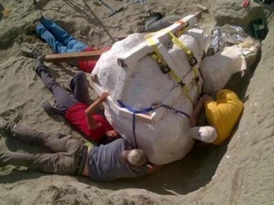 Se encuentra un cráneo de Tiranosaurio rex de más de 1.100 kilogramos