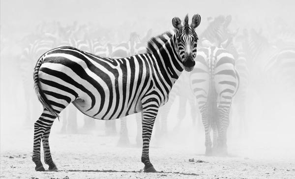 Foto de La belleza animal en Blanco y Negro (10/12)