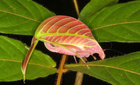 Esta especie de saltamones descubierto en 2016 es el clon de una hoja