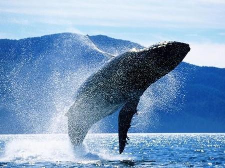 EEUU estudia la posibilidad de sacar a la Ballena Jorobada como especie en peligro de extinción