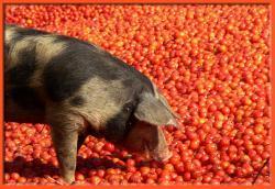 Receta de pan con tomate y ajo confitados y jamón iberico de Guijuelo