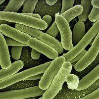 Cómo el descubridor de la E. coli lo hizo examinando caca de bebé