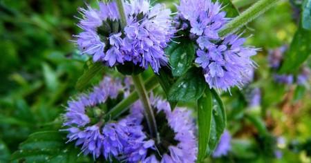7 beneficios de consumir poleo, la planta que en Oaxaca se usa para curar la cruda